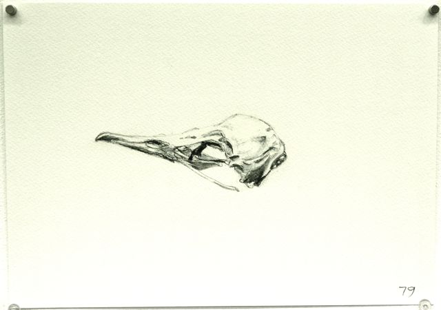 79. Muttonbird skull on a beach.